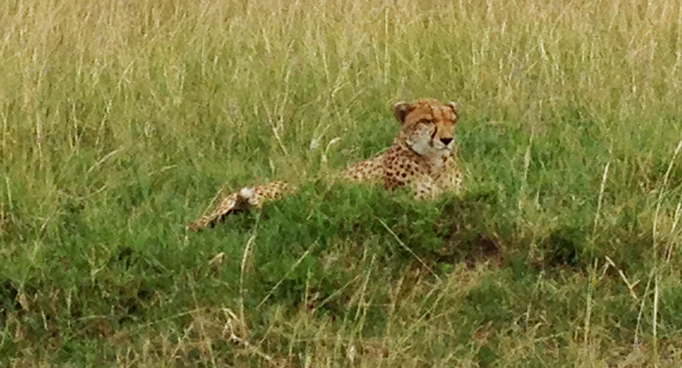 Cheetah on Kenyan Safari